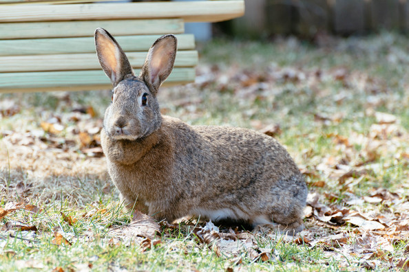 eastern-cottontail-138.jpg